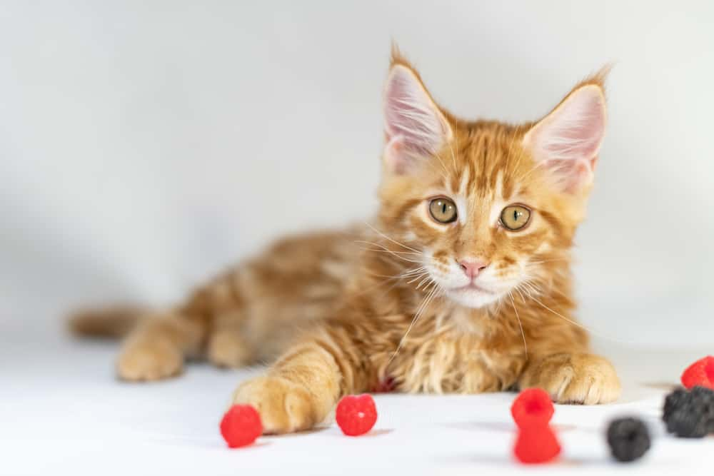 Can Cats Eat Raspberries? Is This Berry Good For Your Kitty? 2