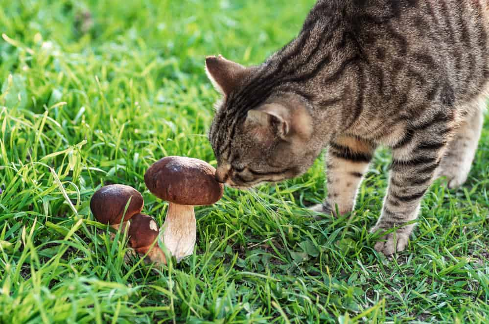 An Excellent Meat Substitute, Can Cats Eat Mushrooms? 2