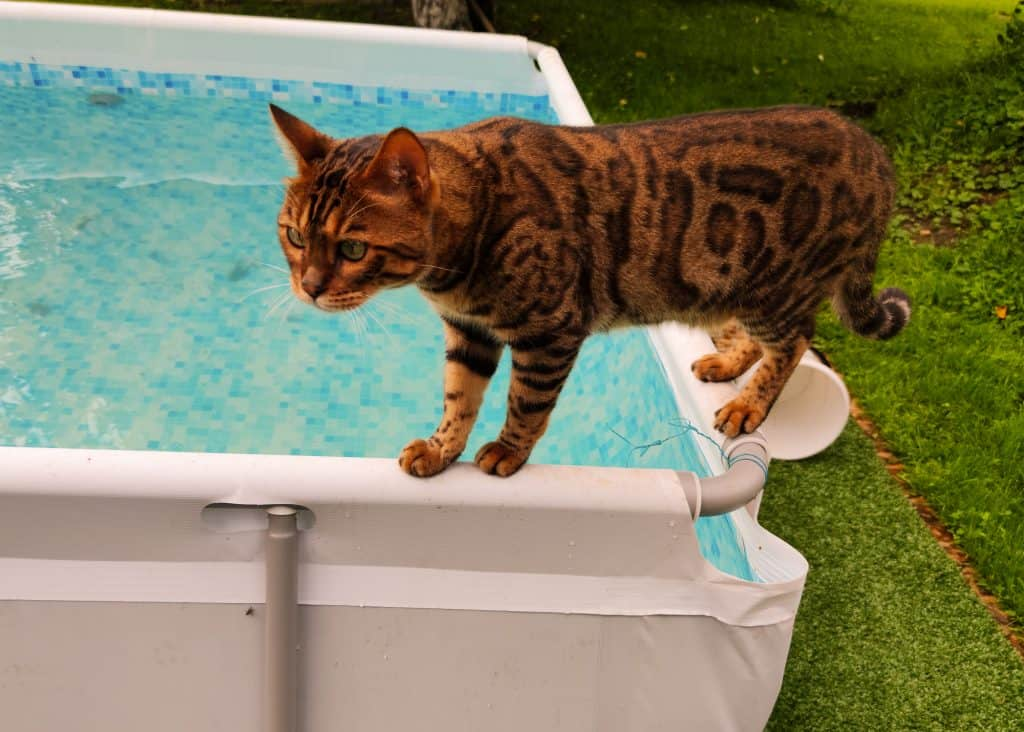 Can Cats Swim? Don't Cats Hate Water? 2