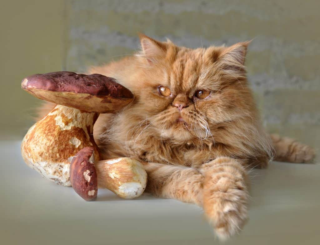 An Excellent Meat Substitute, Can Cats Eat Mushrooms? 1