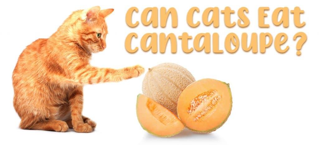 Can Cats Eat Cantaloupe