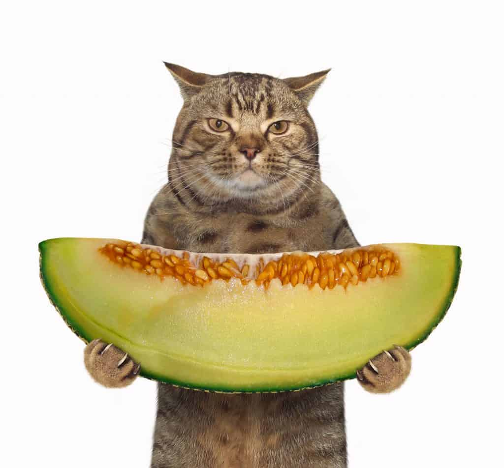 Can Cats Eat Cantaloupe? What Can This Fruit Do To Your Kitty? 2