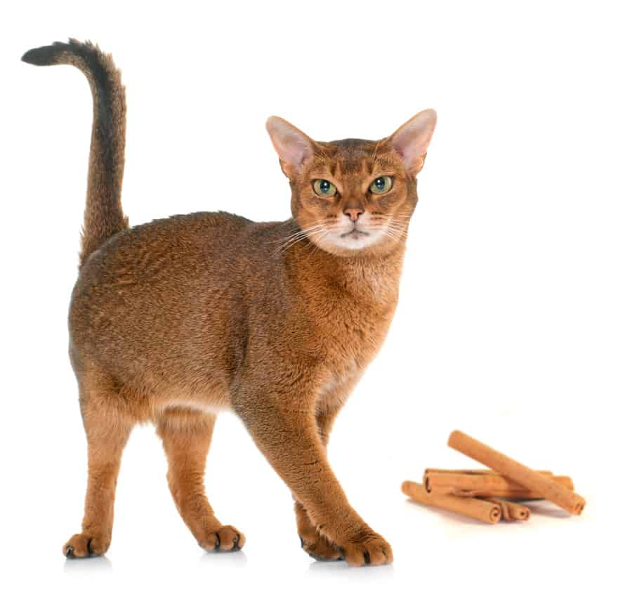 Can Cats Eat Cinnamon? What Happens If Your Cat Is Exposed to Cinnamon? 4
