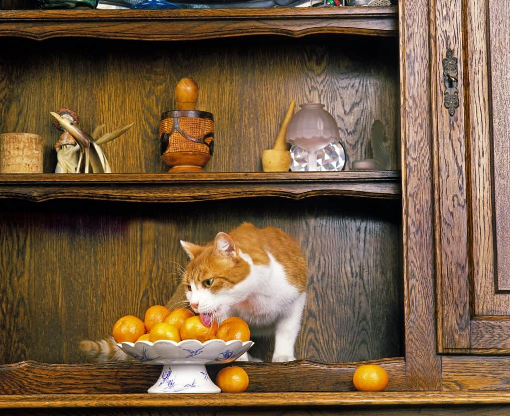 Can Cats Eat Oranges? What Should You Do If Your Cat Eats Oranges? 3