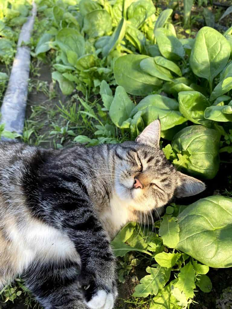 Can Cats Eat Spinach? Benefits & Dangers Of Spinach To Cats Revealed 3