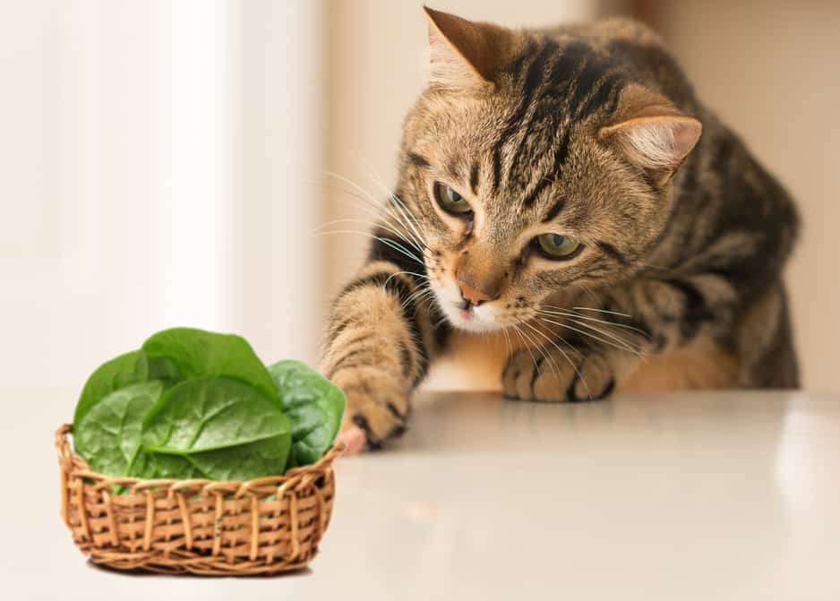 Can Cats Eat Spinach
