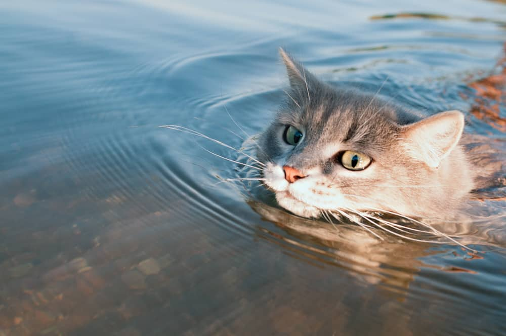 Can Cats Swim? Don't Cats Hate Water? 1