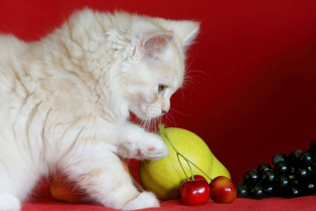 Can Cats Eat Mango? Most FAQs Answered 4