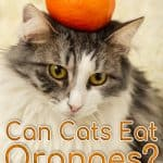 Can Cats Eat Oranges? What Should You Do If Your Cat Eats Oranges?