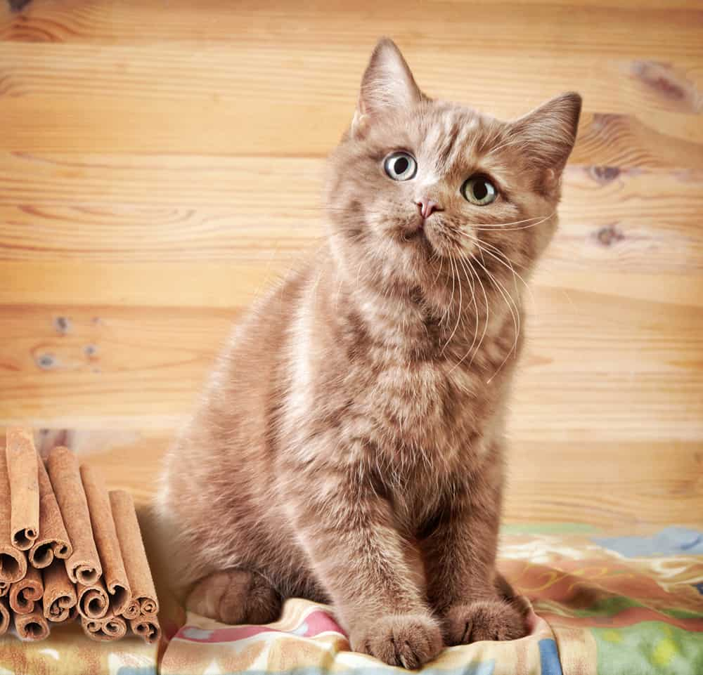 Can Cats Eat Cinnamon? What Happens If Your Cat Is Exposed to Cinnamon? 1