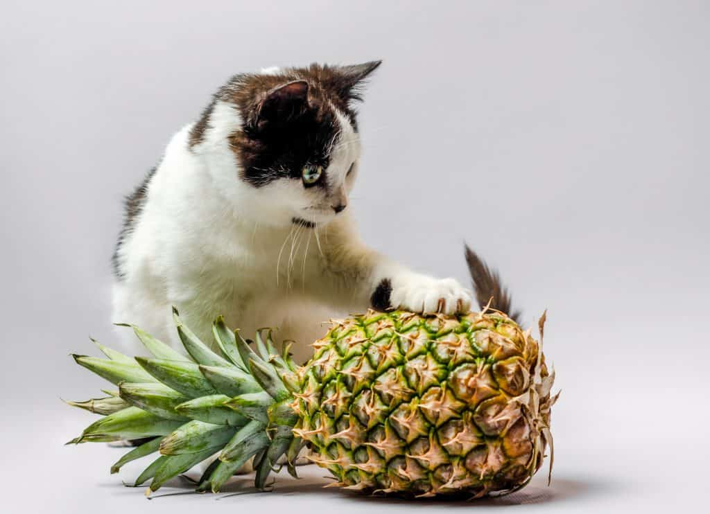 Can Cats Eat Pineapple? Is This Fruit Good Or Bad For Your Cat? 2