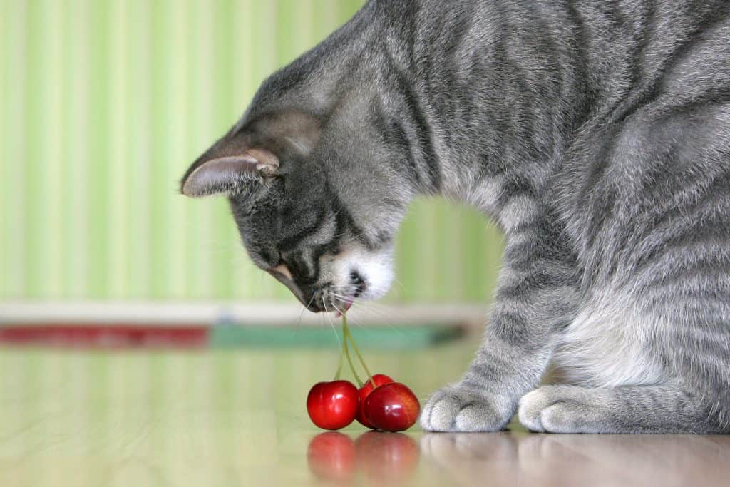 Can Cats Eat Cherries? 5 Burning Questions Answered 3
