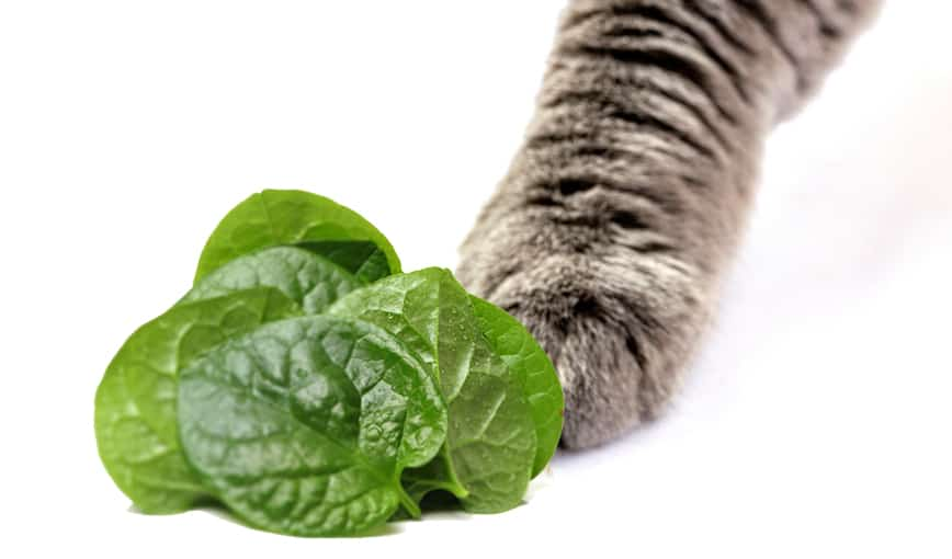 Can Cats Eat Spinach? Benefits & Dangers Of Spinach To Cats Revealed 2