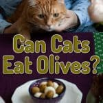 Can Cats Eat Olives? Can Cats Get Some Health Benefits from Olives?