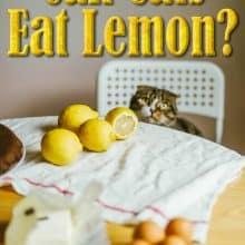 Can Cats Eat Lemon