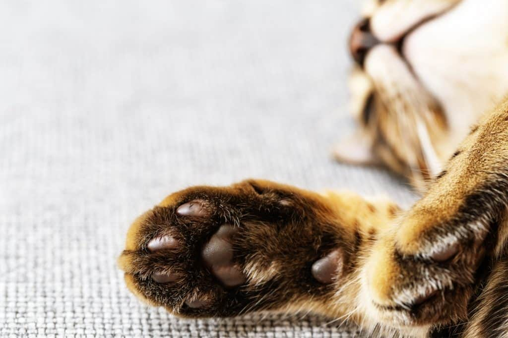 How Much Does It Cost to Declaw a Cat? 5