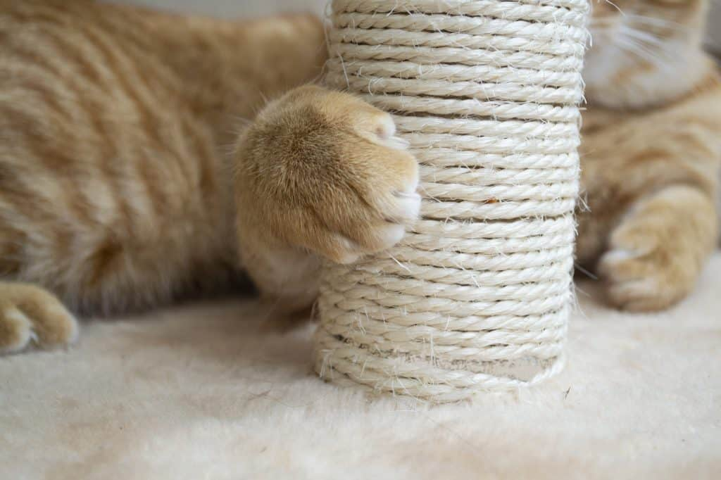 How Much Does It Cost to Declaw a Cat? 4