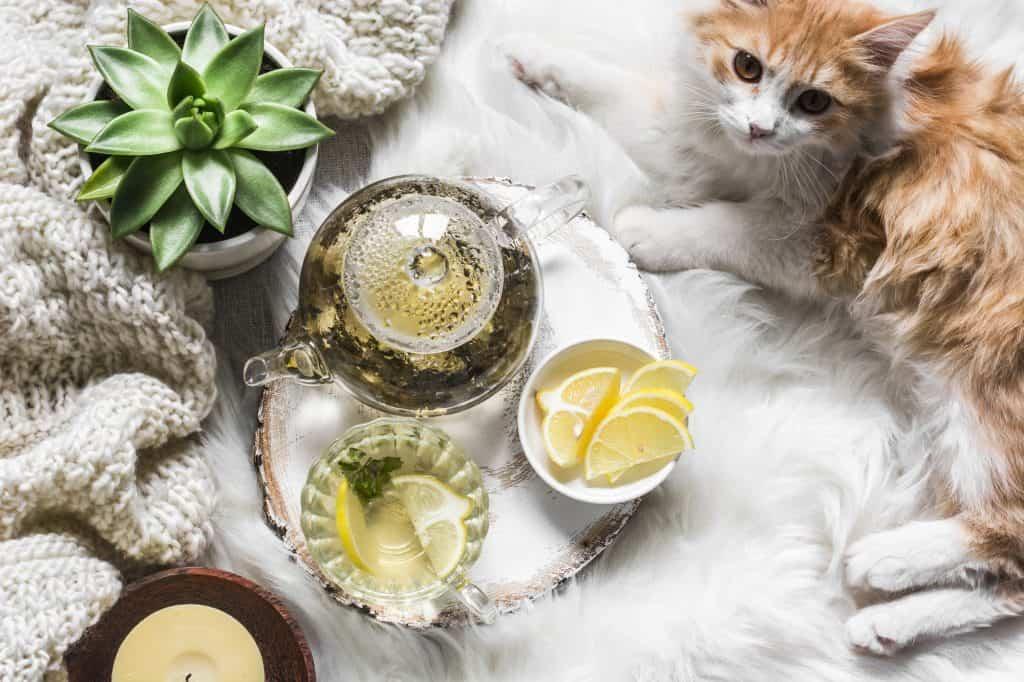 Can Cats Eat Lemon? What Happens If Your Cat Eats Lemons? 2