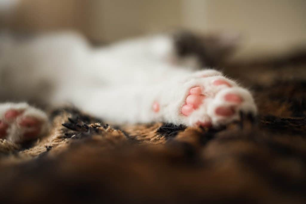 How Much Does It Cost to Declaw a Cat? 1