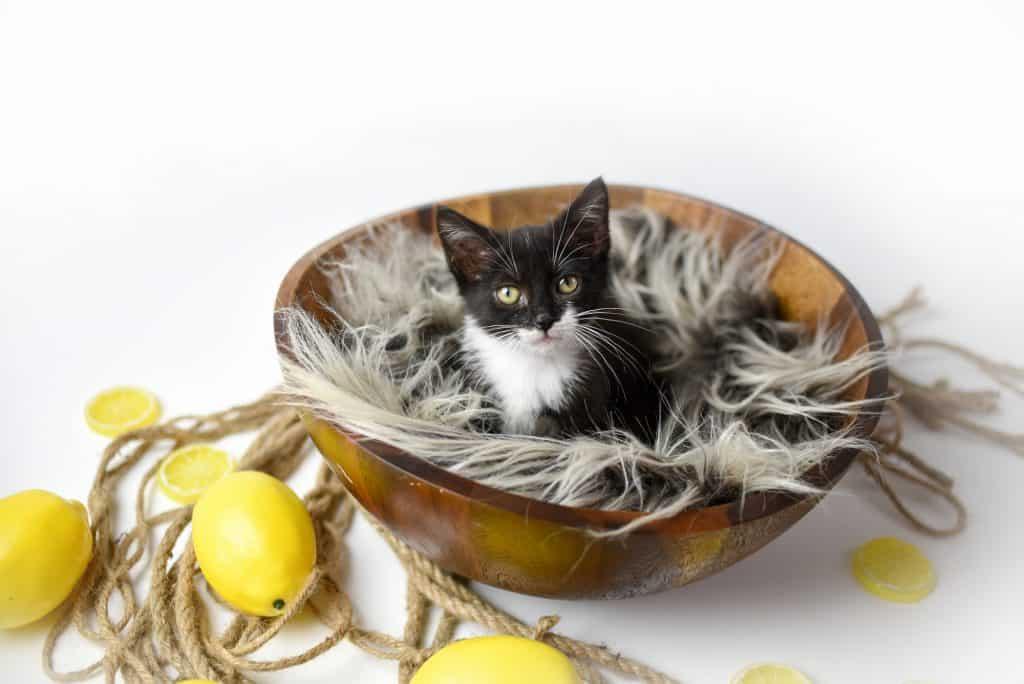 Can Cats Eat Lemon? What Happens If Your Cat Eats Lemons? 4