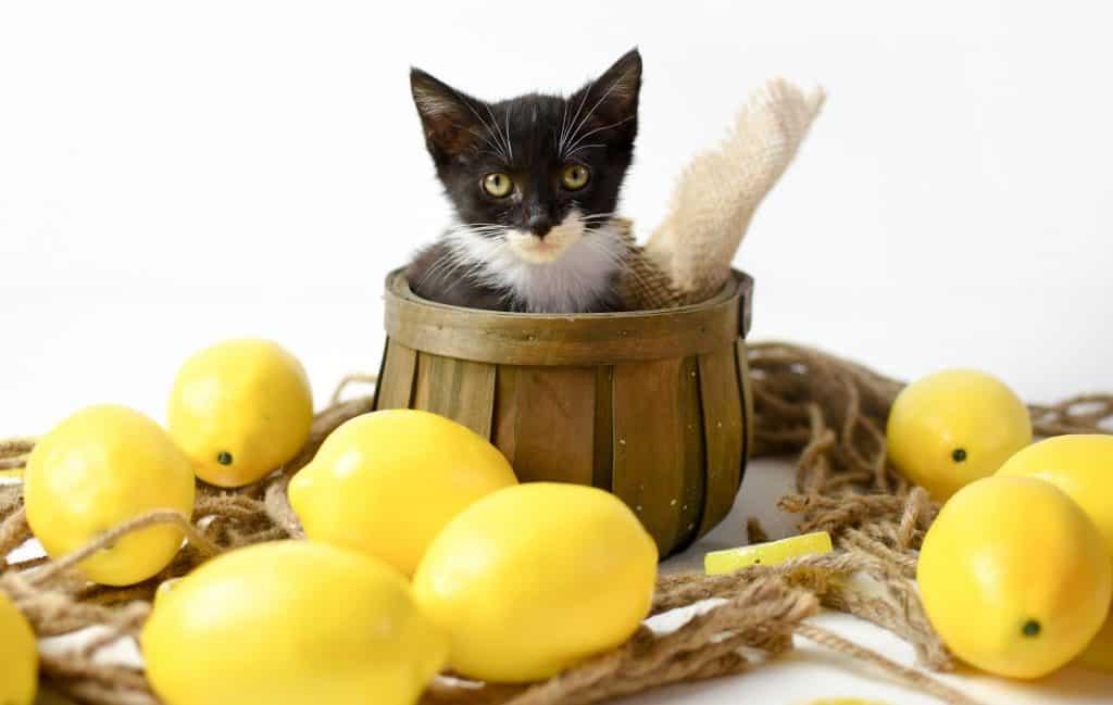 Can Cats Eat Lemon? What Happens If Your Cat Eats Lemons? 3