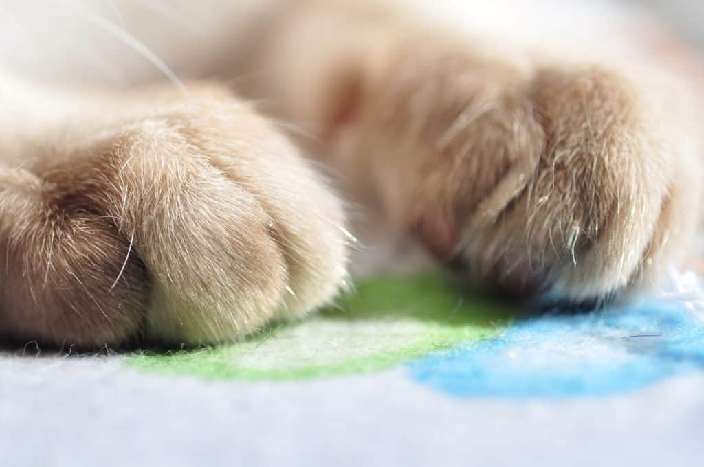 How Much Does It Cost to Declaw a Cat? 2
