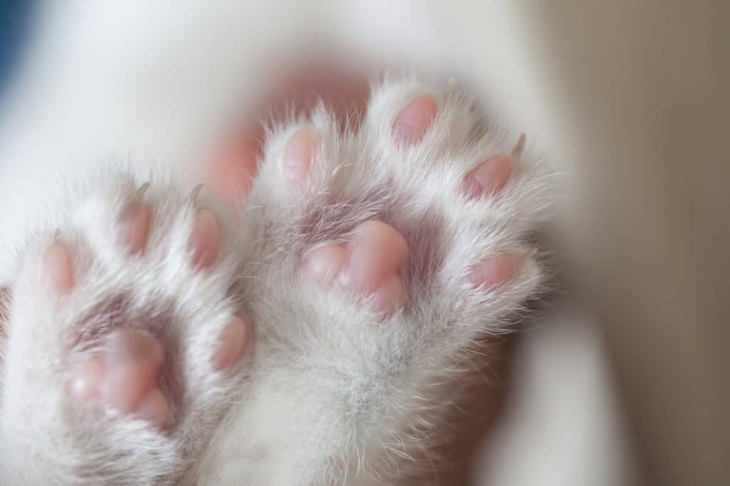 How Much Does It Cost to Declaw a Cat? 3
