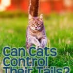 Can Cats Control Their Tails? Can a Cat Live Without a Tail?