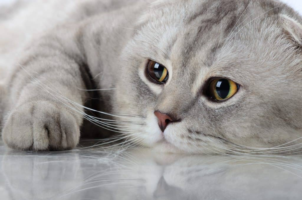 Can Cats Get Hiccups? Should You Worry If Your Cat Has It? 2