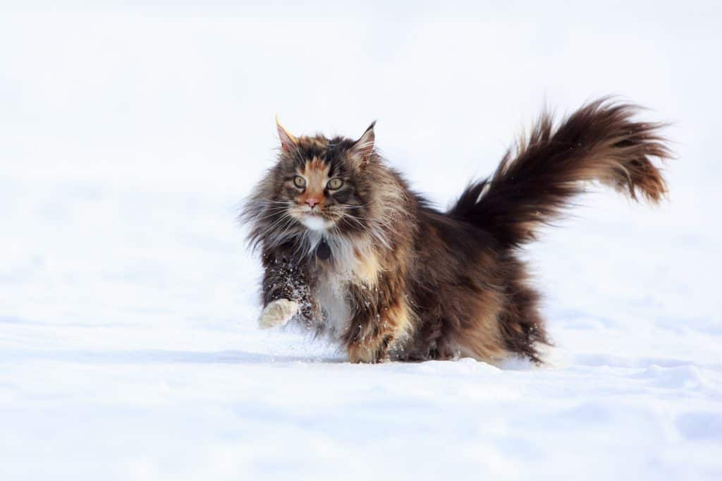 Can Cats Control Their Tails? Can a Cat Live Without a Tail? 3