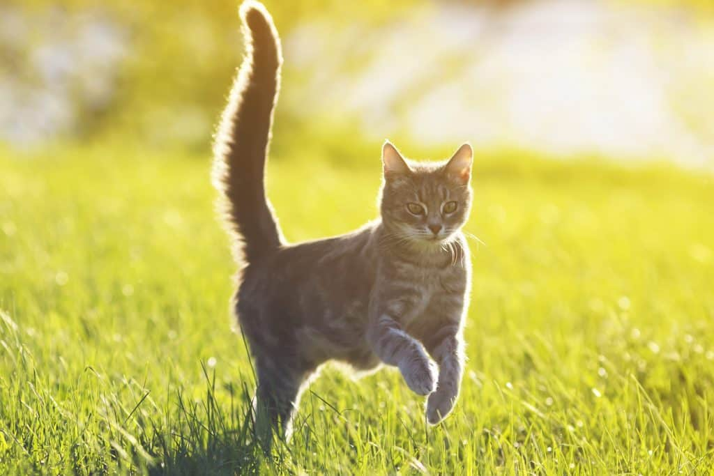 Can Cats Control Their Tails? Can a Cat Live Without a Tail? 1
