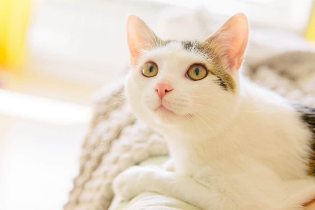 Can Cats Get Hiccups? Should You Worry If Your Cat Has It? 1