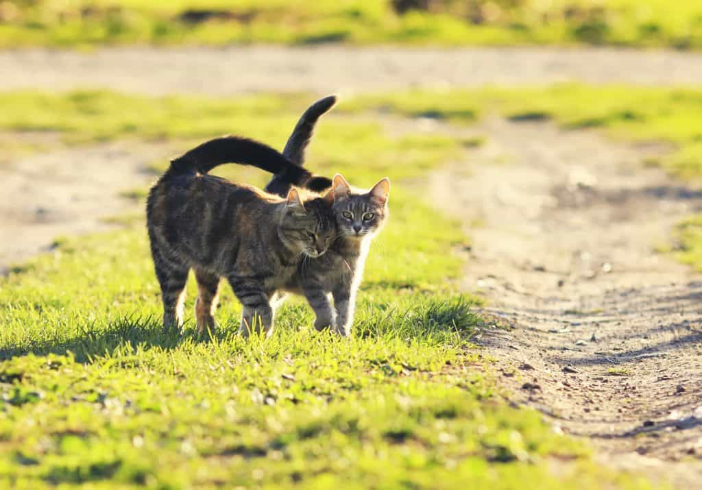 Can Cats Control Their Tails? Can a Cat Live Without a Tail? 2