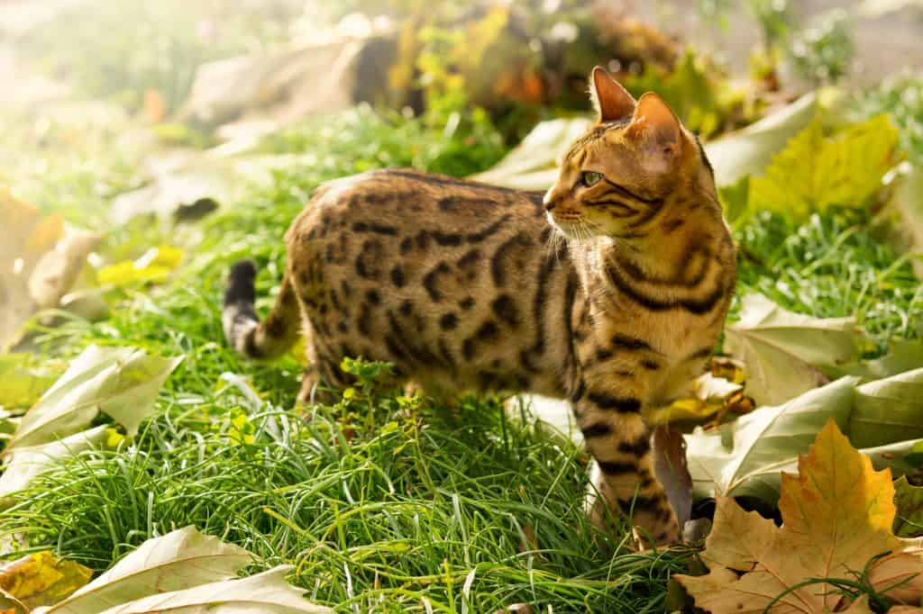 [year] Best Cat Food for Bengals: Proper Nutrition For Your Playful Cats 1