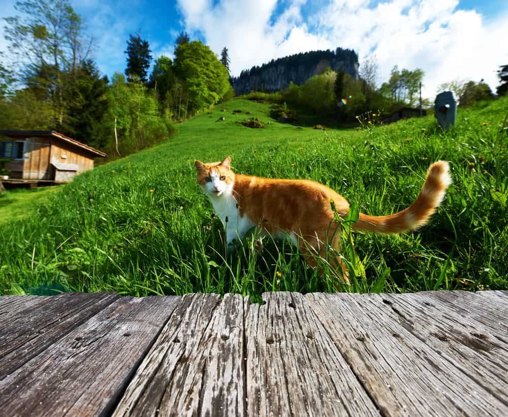 Cat Homing Instinct: Is It For Real? Can Cats Find Their Way Home? 2