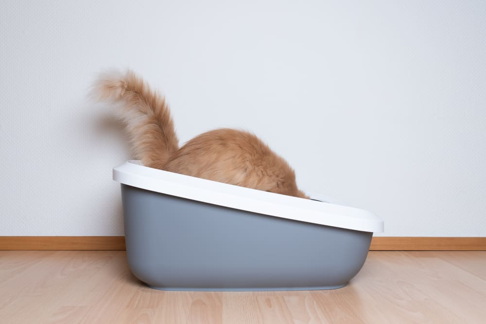 8 Best Non-Clumping Cat Litter in [year]! Should You Use a Non-Clumping Litter for Your Cat? 1