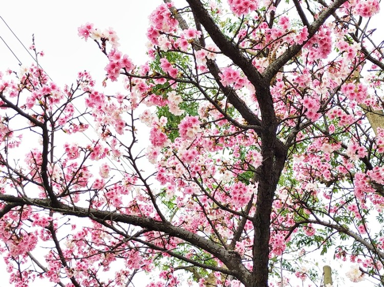 台北景點|士林區福德里小公園的美麗櫻花林,近天文科學教育館