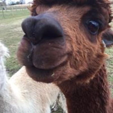 SMILEY ALPACA