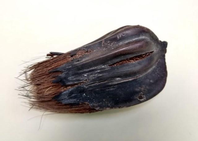 thai seedpod