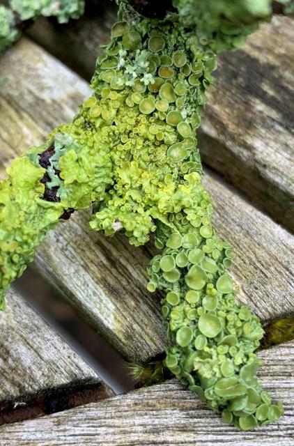 lichen photo close up