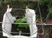 old bed sheet to protect tomato plant
