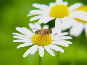 abejas_colectividad