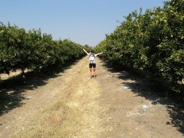 In the orange groves