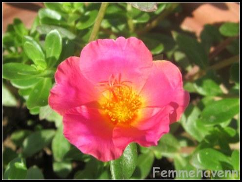 Pink Buttercup flower