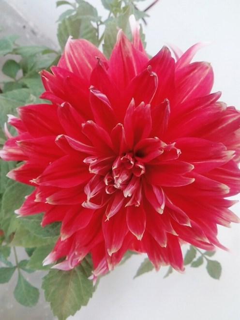 Red Dahlia(similar to Chrysanthemum(guldaudi)-a winter flower)