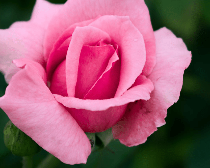 Wild Rose For Pain, Beauty & PMS