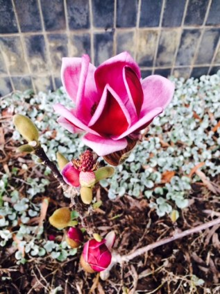 Winter Magnolia
