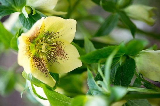 Helleborus hybr. 'Yellow Speckled' (c) perennialpower.nl