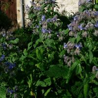 Feng Shui Jardin, la Bourrache, belle et sauvage est en fleurs.