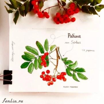 Цветной натюрморт акварелью рябина - Fenlin.ru